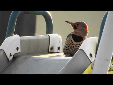 Youtube: Machine Gun Woodpecker - Flicker