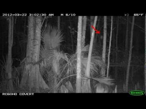 Youtube: Bigfoot hunting deer with original images