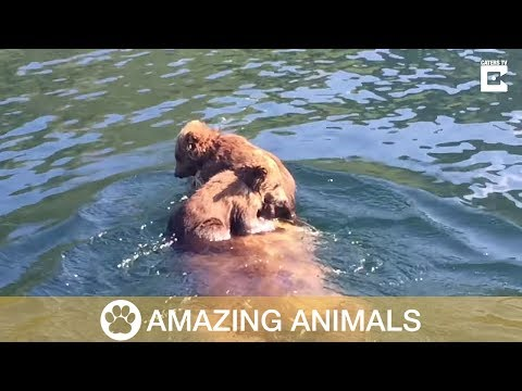 Youtube: Adorable Bear Cubs Ride On Mother's Back