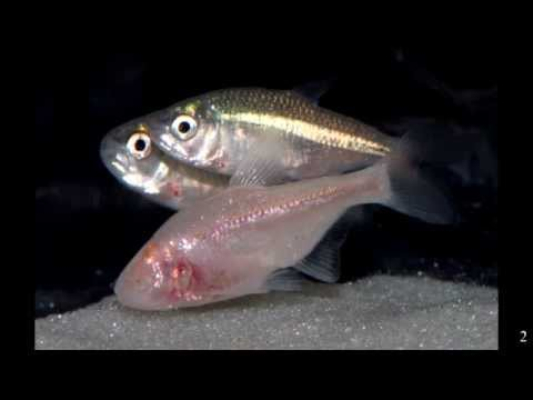 Youtube: How and why does the cave fish lose its eye?    (Ninth grade Genetics and Developmental Biology)
