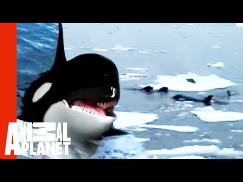 Youtube: Family Of Orcas Attack Lonely Seal | Untamed & Uncut
