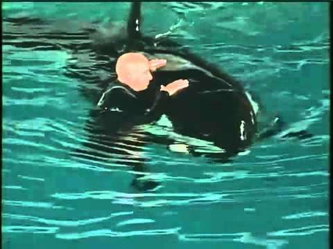 Youtube: NEAR DEATH AT SEAWORLD KILLER WHALE  ATTACKS TRAINER