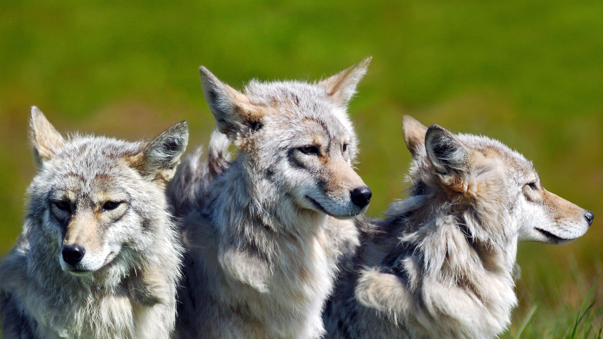 3-brother-wolves