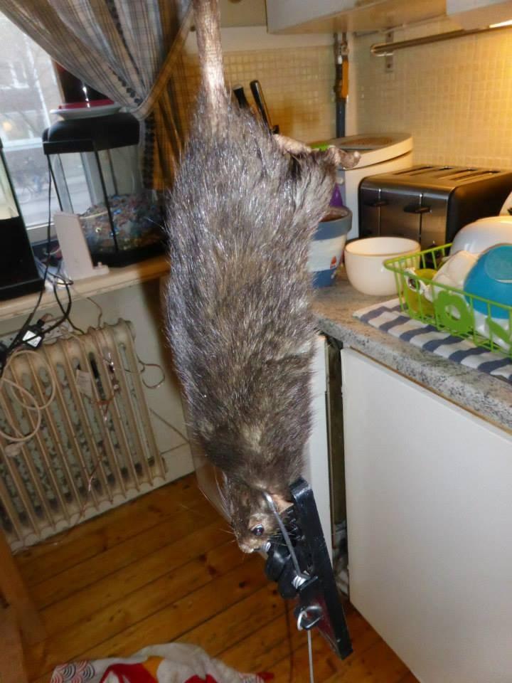 Größte Ratte Der Welt