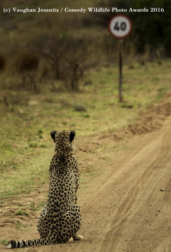 cheetah speed limit