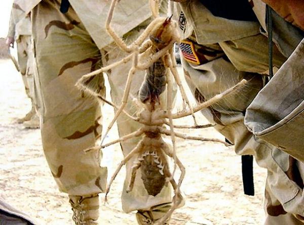 Giant Camel Spider Size