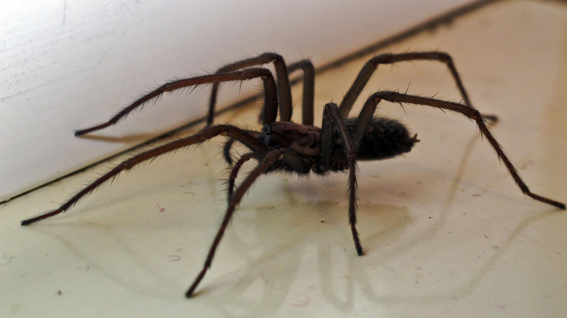 Ekelhafte Spinne