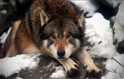 Red Eyed Wolfi