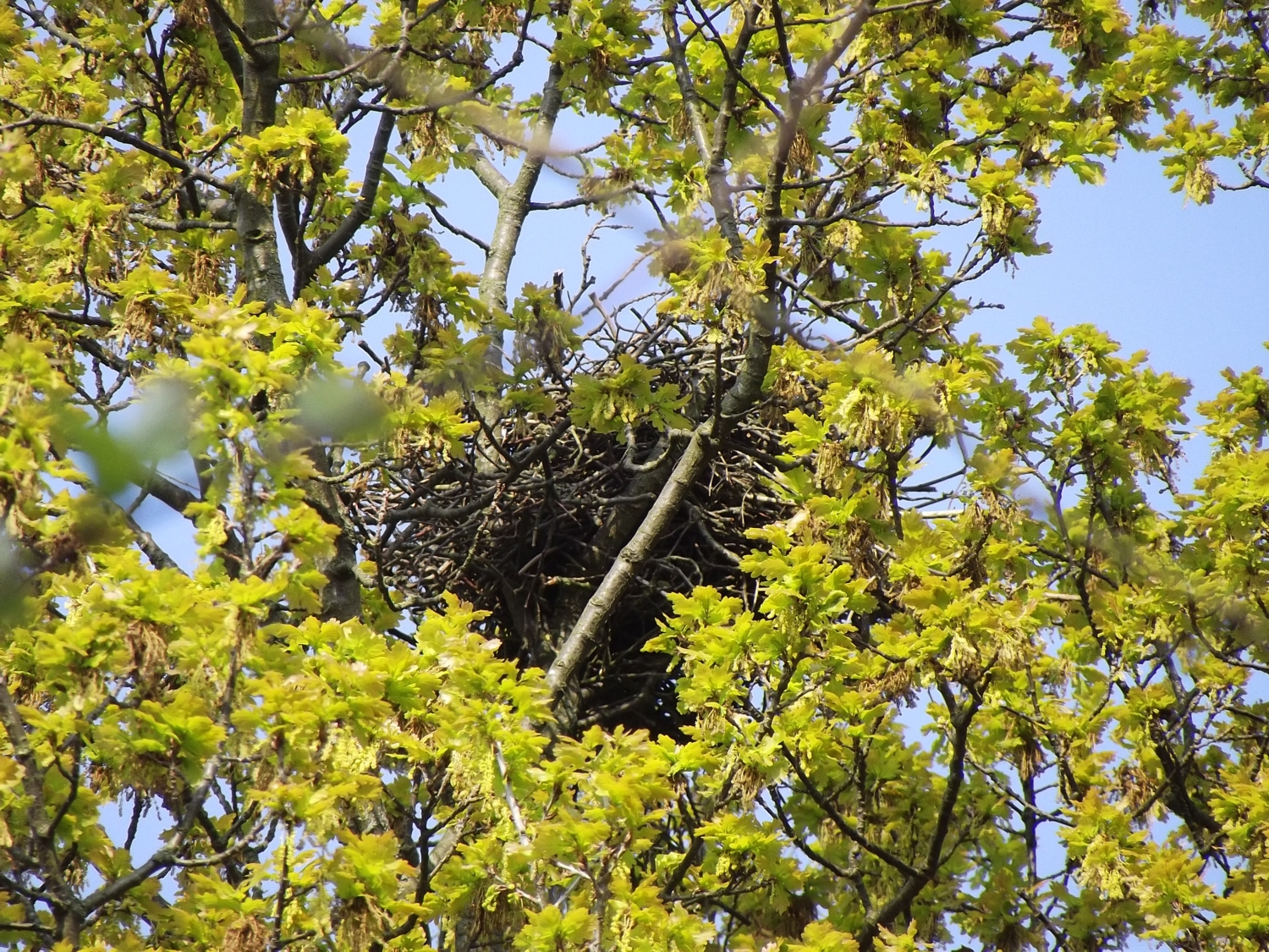 Nest in der Eiche