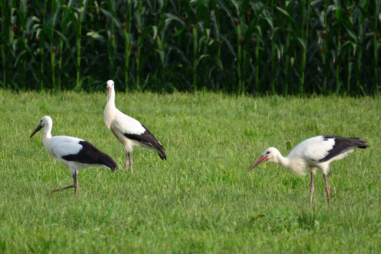 storch 20140731 1655 1280