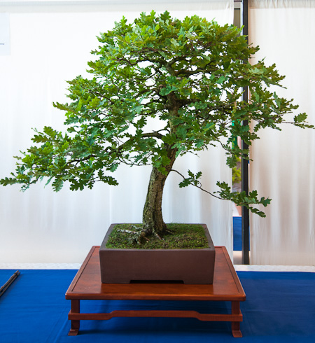 Stieleiche Bonsai