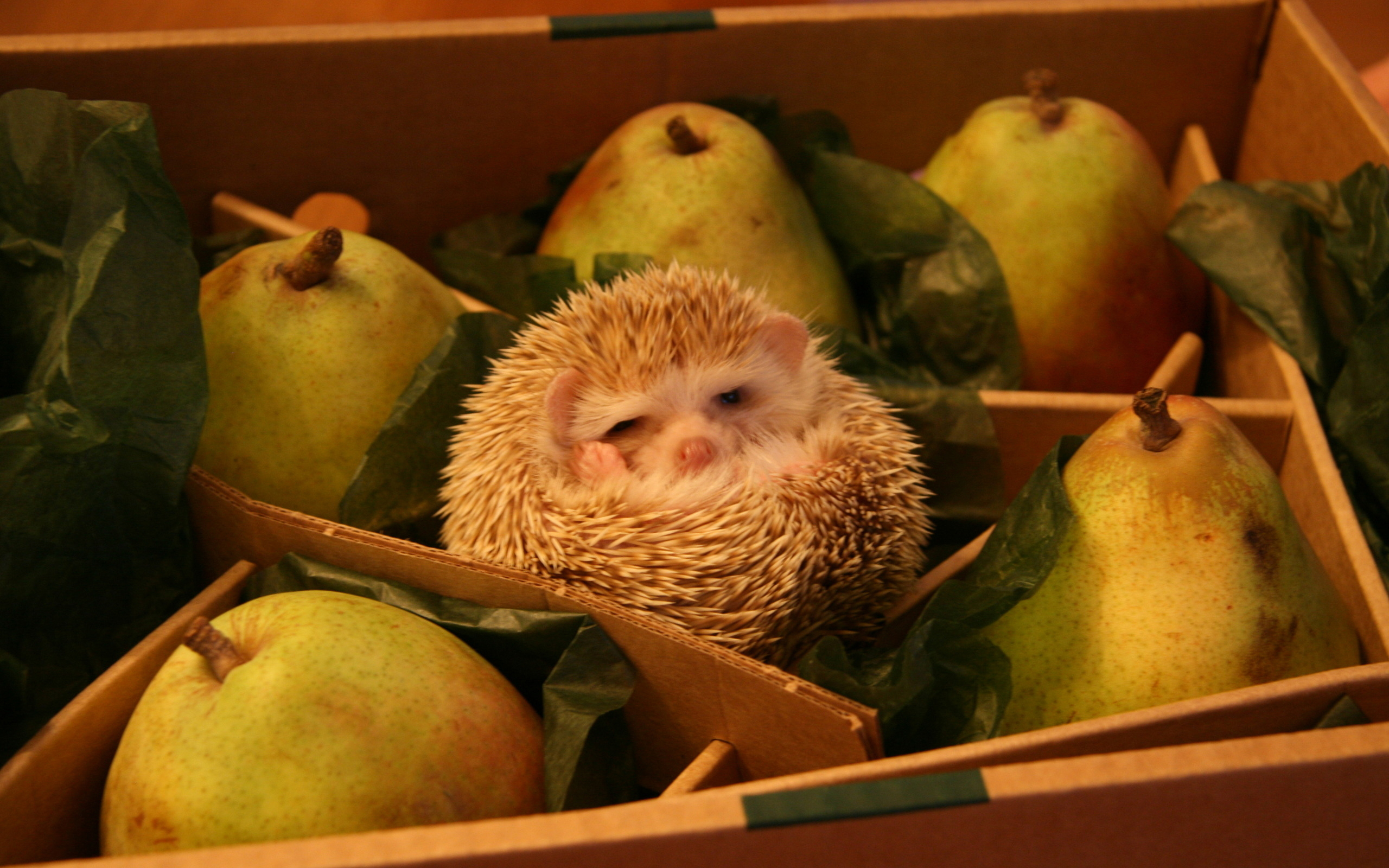 hedgehog-pear