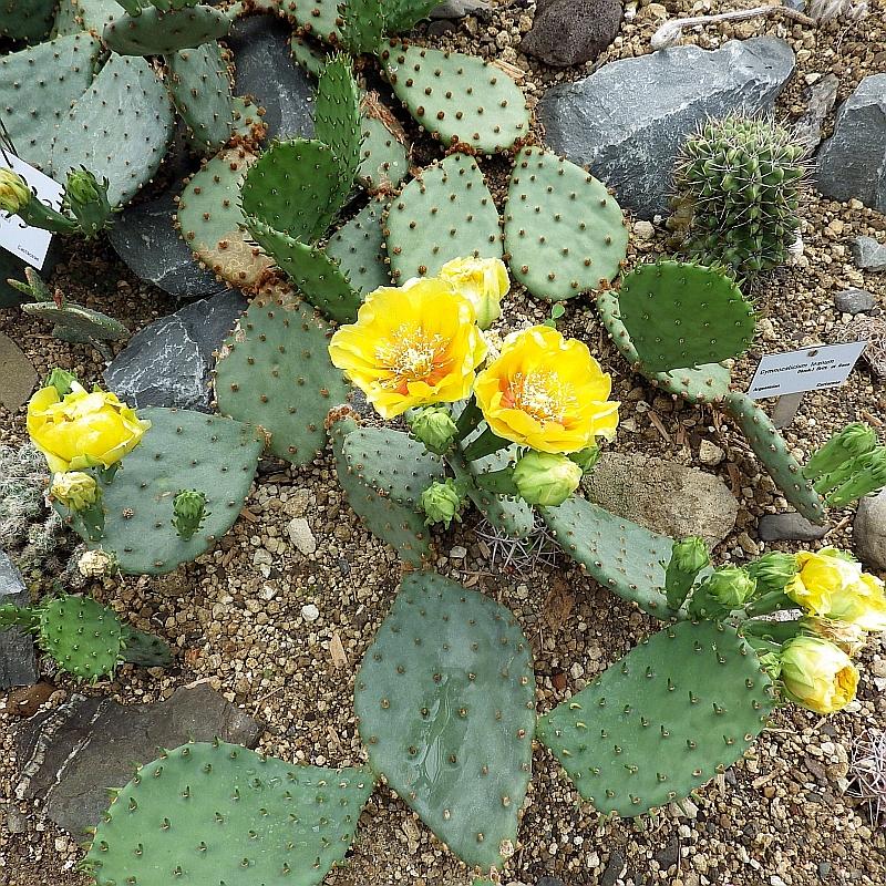 bischofsmütze kaktus